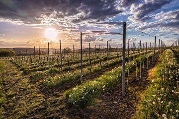 Wijngaard bij Fromberg van Rob Boon