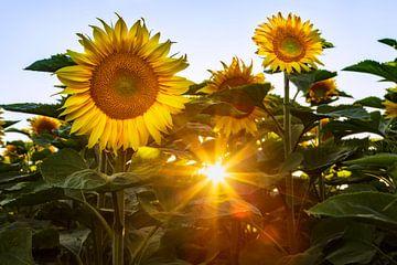 Sonne und Sonnenblumen von Daniela Beyer