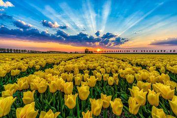 Tulpenveld Beemster Holland van Mario Calma