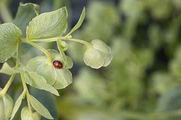 Lieveheersbeestje op een helleborus plant van Tot Kijk Fotografie: natuur aan de muur