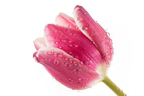 Tulp met druppels van Tanja van Beuningen