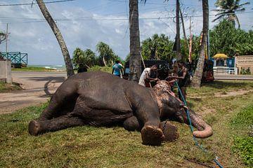 olifant, Sri Lanka. van