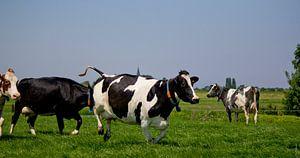 Springende koe van