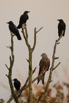 Rotmilan im Baum zwischen den Krähen von Jeroen Stel