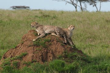 Cheetah's in Serengeti national park Tanzania van Paul van Slobbe