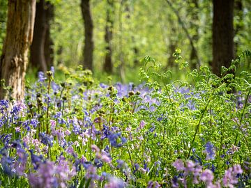 Wilde Hyazinthen im Wald von Karin Schijf