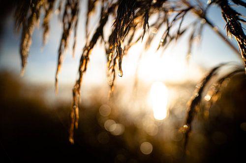 Rietpluim bij zonsopkomst