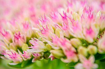 Achillea millefolium 'Hoffnung' sur Yvon van der Wijk