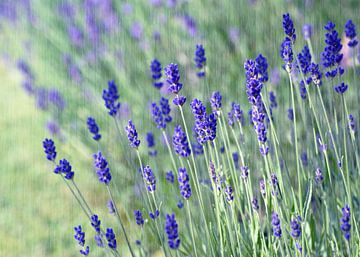 Zarter Lavendel van Martina Fornal