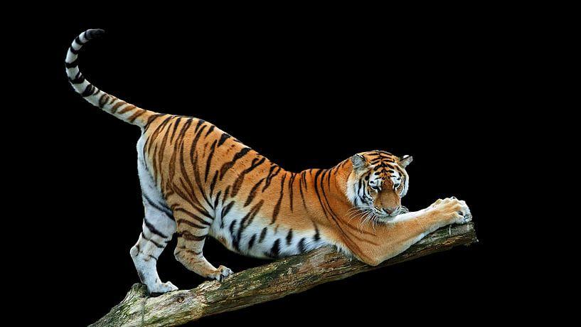 Sibirischer / Amur-Tiger von Eye to Eye Xperience By Mris & Fred