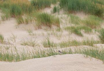 Pelzregenpfeifer in einer Dünenlandschaft von Marcel Klootwijk