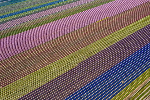 Een bloembollenveld van boven gezien
