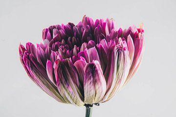 roze bloem van Lavieren Photography