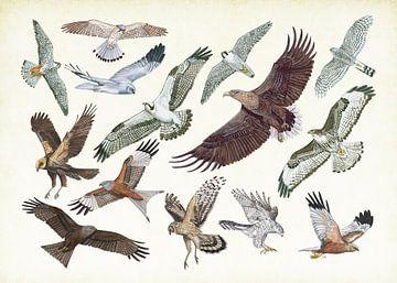 Raubvögel im Flug von Jasper de Ruiter