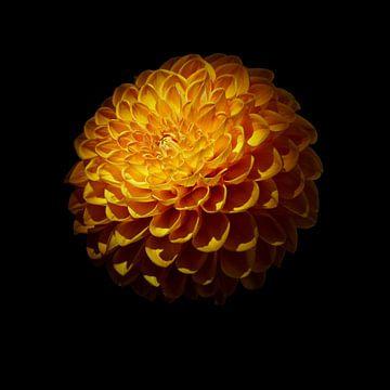 Dahlia oranje bloem van Johannes Schotanus