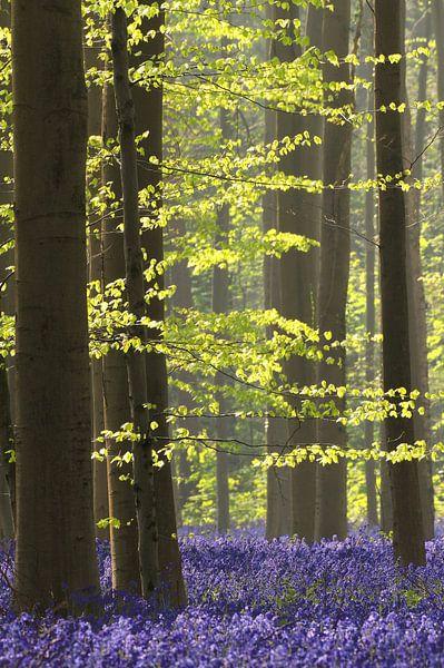 Groene beukenblaadjes en paarse boshyacinten van Paul Wendels