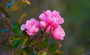 Wilde roos in kleurrijke herfst in Duitsland