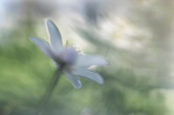 Witte Bosanemonen van Ellen Driesse
