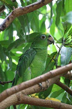 Groene papegaai in zijn natuurlijke omgeving van rene marcel originals