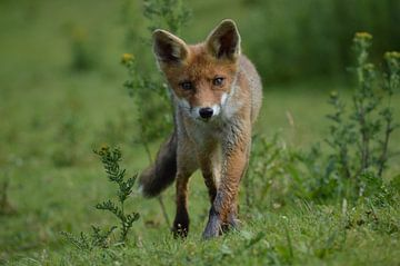 Nieuwsgierige jonge vos. van Yvonne van der Meij
