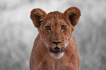 African Lion van