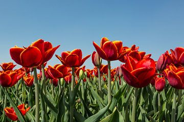 Rode Tulpen van Martin Cordes