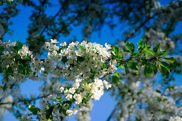Weiße Blüten von Reinhold Kohl