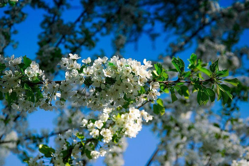 Witte bloemen van RK