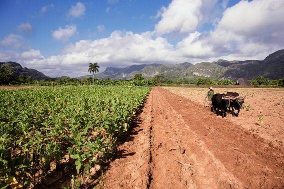 Vinales, Cuba. Tabaksplantage in de Vinales-vallei, ten noorden van Cuba