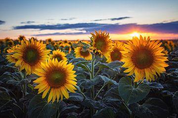 Sonnenblumen von Steffen Gierok