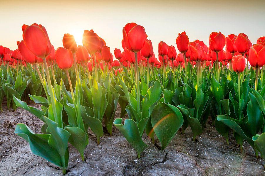 Rode tulpen in het veld met zon van Dennis van de Water