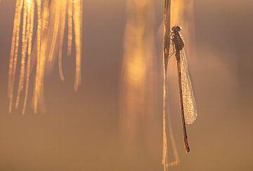 Goldenes Glühwürmchen von natascha verbij