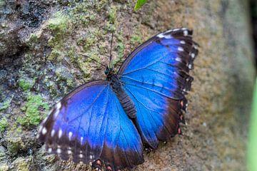 Blauwe Morpho Vlinder van Leonie Boverhuis