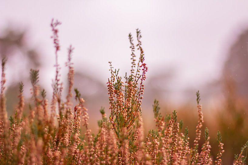 Herfstglorie van de Veluwe - Heide nr. 2 van Deborah de Meijer
