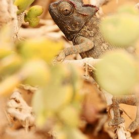 NAMIBIA ... the  chameleon van Meleah Fotografie