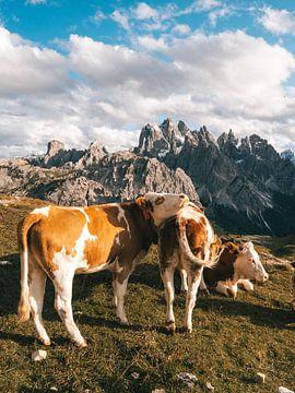 Trois vaches au pâturage dans les prairies des Dolomites sur Michiel Dros