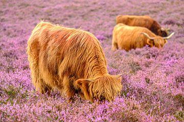 Schottische Hochlandrinder in einem blühenden Heidekrautfeld von Sjoerd van der Wal