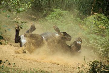 ezel op haar rug rollend in het zand van wil spijker