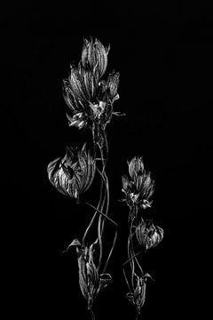 Stillleben getrocknete Blume Kunstwerk in schwarz und weiß von Steven Dijkshoorn