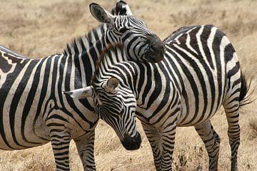 Zebra hugg van Willy Sybesma