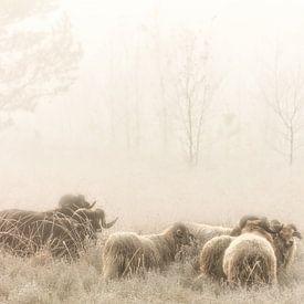 Drentse Heideschapen op de heide in de mist van Bas Meelker