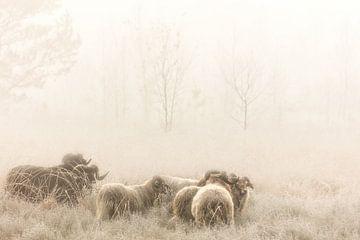 Drenthe Heath Sheep sur la lande dans la brume sur Bas Meelker