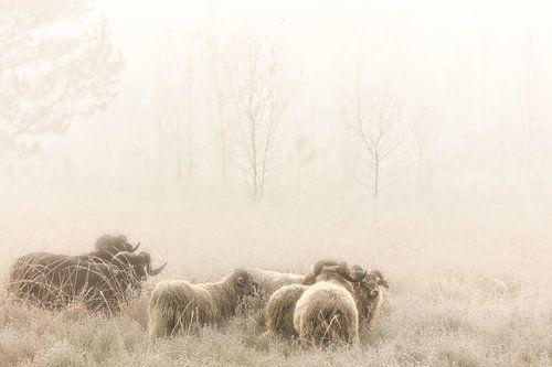 Drentse Heideschapen op de heide in de mist