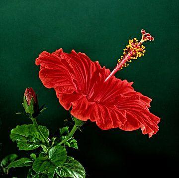 Hybiscus van