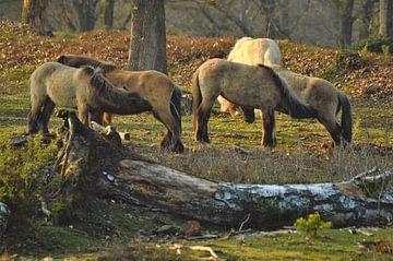 Paarden op de Posbank Veluwezoom van Veerle de Koning