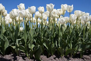 Prachtige witte tulpen voor aan de muur. van Maurice de vries