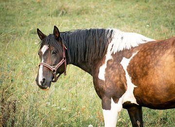 Bonte paard in weiland van Kashja Neels