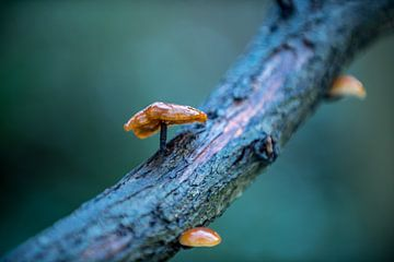 champignons solitaires