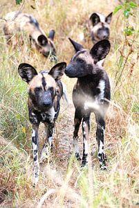 Afrikaanse wilde hond van Eline netnas