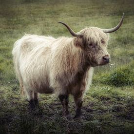 Le bœuf irlandais creuse la terre sur Mart Houtman